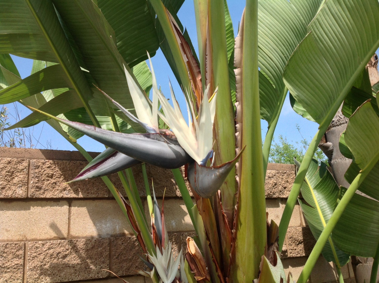 giant white and orange bird of paradise tree seeds from giant only grows very tall. Black Bedroom Furniture Sets. Home Design Ideas