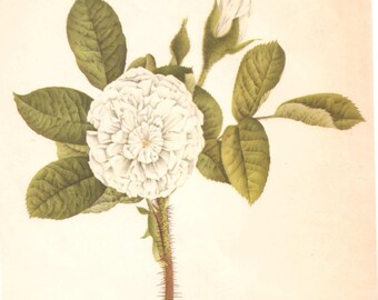 Flower study print by Charles Vaymona