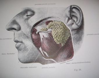Atlas of Descriptive Human Anatomy by Sobotta Vol II Viscers, including the Heart 1954 Vintage