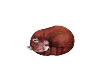 "Sleeping Red Panda Art Print, ""Francis"""