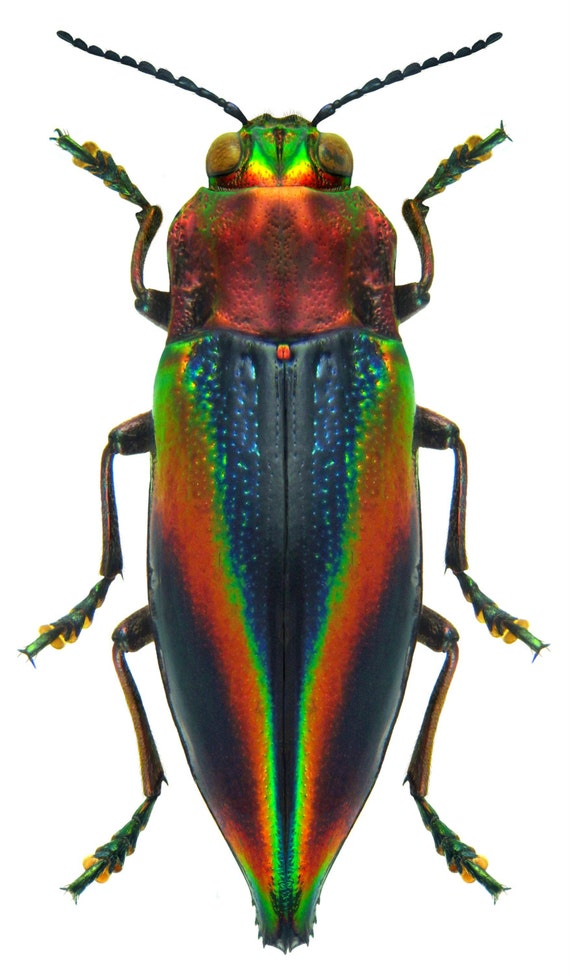 Supplies for your artworks - dried insects - :   Cyphogastra javanica , jewel beetle  set of 10 pcs quality aa- FREE SHIPPING