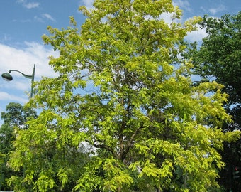New Home Garden Plant 30 Seeds Black Locust, Robinia pseudoacacia, Fast! Tree Seeds