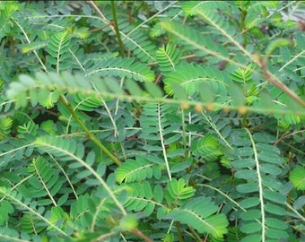 New Home Garden Plant 50 Seeds Phyllanthus Urinaria Seeds