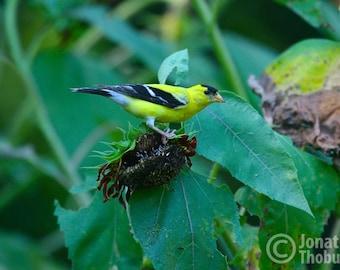 Beautiful Goldfinch on Sunflower