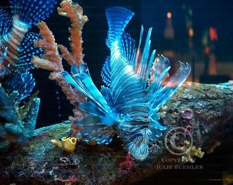 Photo: TigerFish 2, Lionfish, Pterois volitan, Colorful Coral, Underwater, Aquatic, Wall Decor photo, Fine Art Photography Print [blu]