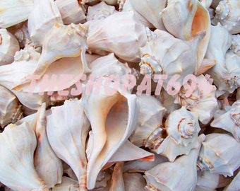 "Seashell Photo - Whelk Shell Photo - Beach Shell Photo - Instant Download - ""Abundant Whelks"""