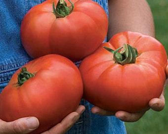 Red Beefsteak Heirloom Tomato Seeds, Naturally Grown in the Pacific NW