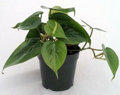 "Heart Leaf Philodendron - Easiest House Plant to Grow - 4"" Pot  (FREE SHIPPING)"