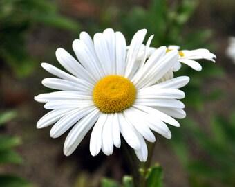 Daisy, 8x10, Flower, Garden, Art, Print, Photography, White Flower, Home Decor, Photo, Picture, JC Rivers, Wall Art, Gift,