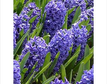 Blue Hyacinth, Flowers, Dutch Bulbs, The Netherlands, Holland, Blue Jacket, Blue-Purple Florets, Garden, Fragrant, Aromatic