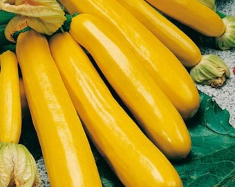 Squash Zucchini seeds Svitozar  Heirloom Vegetable Seed from Ukraine #766
