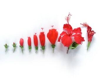 Red cayenne evolution