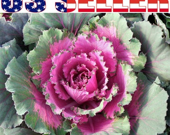 30+ Ornamental Cabbage Seeds Colorful Flower Kale Brassica Oleracea Beautiful!!!