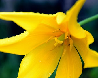 Yellow Lily Flower Color Image Photographic Print