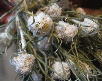 PEARLY EVERLASTING  naturally DRiED FLOWER  Bunches