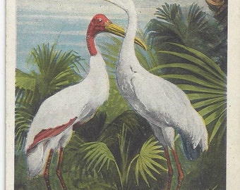 1922 Vintage Postcard of Wood Ibis and Whooping Crane of Florida