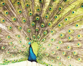 "Peacock Wall Art Animal Photography Aqua Blue Lime Green Bird Print | ""Flying Colors"""