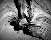 Dark & Twisty - Swirl (black and white nature photography print, creepy spooky snarly dead tree trunk wood texture wall art home decor)