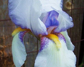 Colorful Iris ACEO printed on glossy photo paper