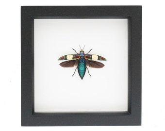 Framed Jewel Beetle Chrysochroa fulgens Taxidermy Display