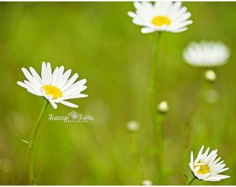 Spring White Daisies Flower Fine Art Canvas wrap- wild flowers