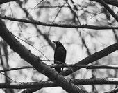 Black and White Bird Photography, Blackbird Photograph, Bird Photograph, Nature Photography, Dark Moody Mysterious, Natural, Woodland Photo