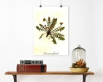 Real Pressed Dandelion Herbarium Specimen - Real Pressed Flower Art - Museum Quality