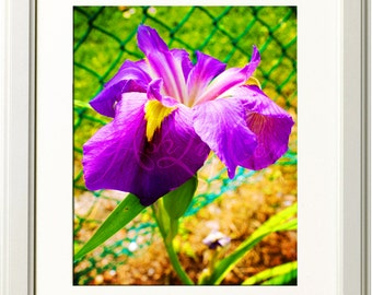 Bright Iris Photograph 11x14 Print