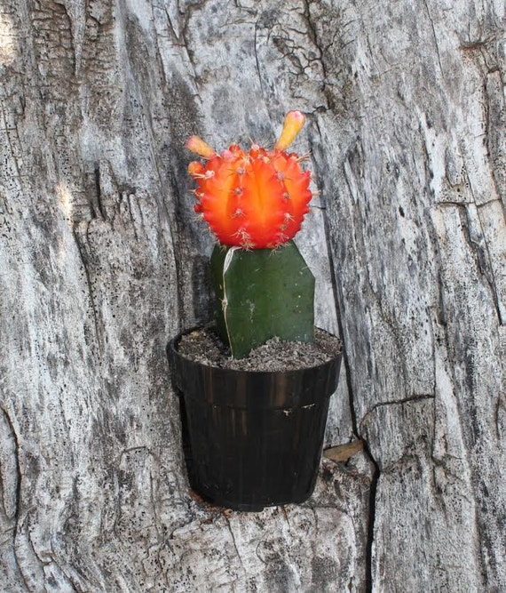 20 vibrant glow cactus for sale grafted cactus by Cactus pots for sale
