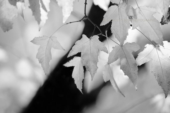 Black and white photography, nature / LEAVES AND LIGHT_12 x 8 print