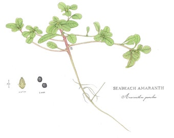 Watercolor Botanical Illustration, Seabeach Amaranth, Original Painting