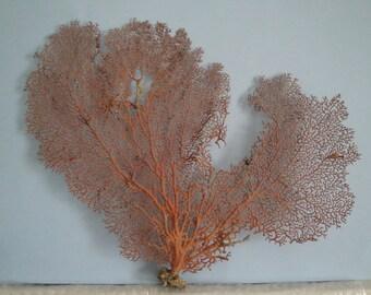 "Pacifigorgia Red Color 15"" x 11.6"" Large Sea Fan Seashells Reef Coral"