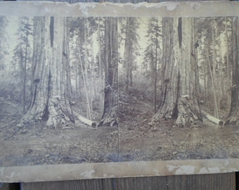 Vintage/Antique Stereoscopic The New York Co. Paper Picture of Huge Trees Redwoods? 1900s Repurpose Reuse Art Projects