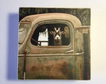 Funny Goat Photo,Truck Driver Goat, Digital Print on 4x4 wood Panel