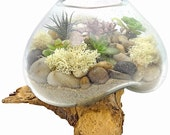 JAVA SATU SUCCULENT terrarium- succulent terrarium, terrarium, succulent, living terrarium, driftwood, driftwood terrarium