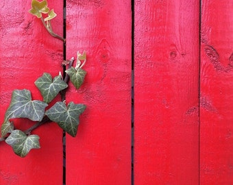 Ivy on red fence. Queens, NY