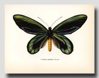 """Vintage Butterfly Print Monarch Art """"Queen Alexandra Birdwing"""" Green Butterfly No. 52-1"""