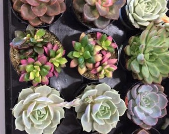 Succulent Plants - 40 Party Pack  For Terrariums, Wedding, Favors, Centerpieces, Boutonnieres and More