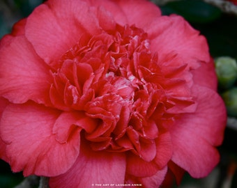 Ruby Red Camellia (8x10 photographic print)