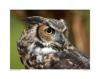 Great Horned Owl portrait taken at the Carolina Raptor Center, Huntersville, NC.