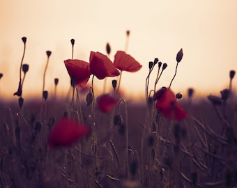 Sunset poppies. 8x10 inch Fine Art Photography Print.