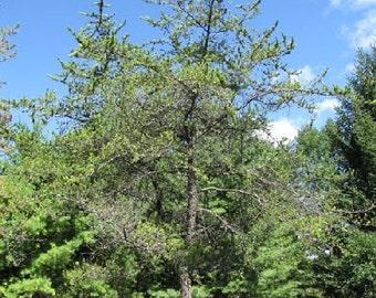 1000 Jack Pine Tree Seeds, Pinus Banksiana