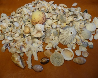 A1 Pound Bag of Sea Shells All Shapes and Sizes