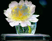 Flower Photography Fine Art Luminous White Peony In Glass Vase On Glass Stand With Dark Green Background#savethepollinators