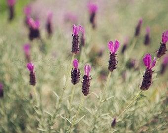 Spanish Lavender I  - Photographic print - wanderlust, California, purple, green, bohemian, boho 12 x 12, 16 x 16, 20 x 20