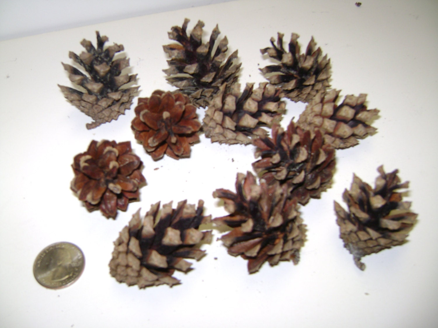 Bulk pine cones 12 austrian pine cones freshly picked small for Small pine cone crafts