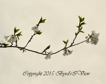 Sakura Cherry Blossom Branch