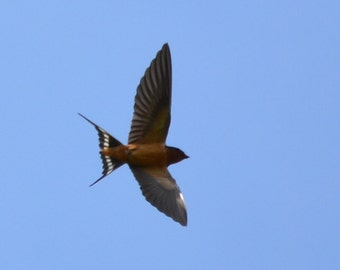 "Barn Swallow 16 ""Spread"""