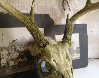 8-point Buck Skull,antler rack with full skull and teeth,mossy green surface patina,decorative,rustic,home decor,taxidermy,man cave,wall art