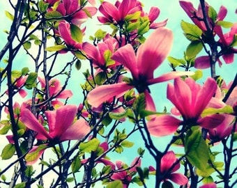 Magnolia Photograph - Spring Flower - Magnolia Tree - Elegant - Wall Decor - Pink Red Magnolia - Nature Photograph- Flower photograph